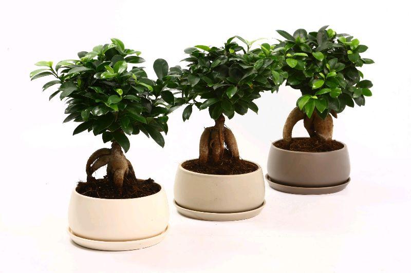 bonsai gingseng 1 st ck salomo aalsmeer n v weitere. Black Bedroom Furniture Sets. Home Design Ideas
