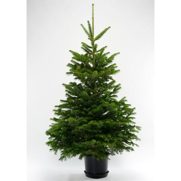 nordmanntannen im topf weihnachtsbaum zentrale sonstige dienstleistungen mynetfair. Black Bedroom Furniture Sets. Home Design Ideas